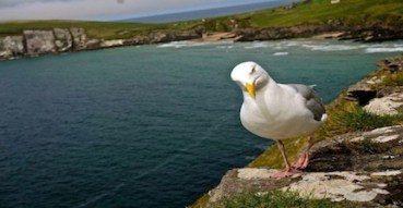Curious Gull near Cobh, Ireland